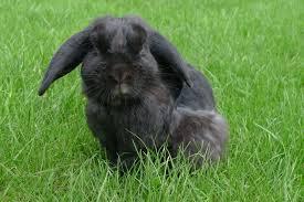 Kanin på Leikarvollen.
